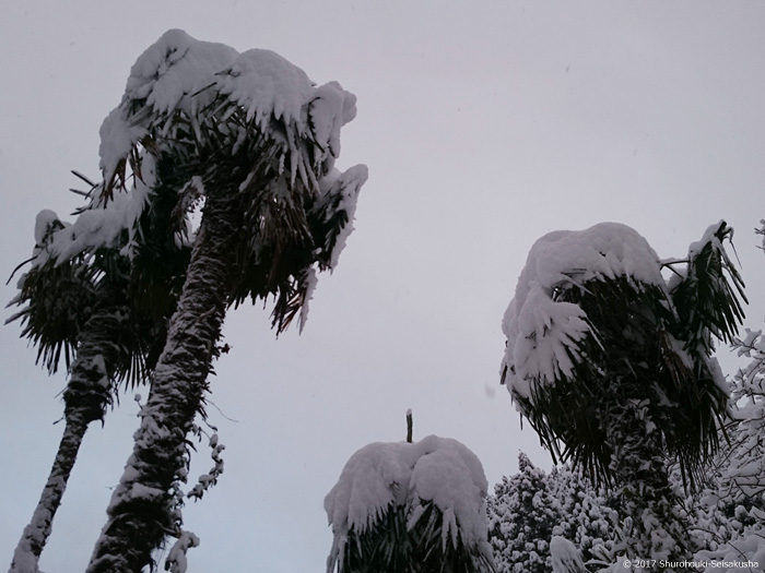 棕櫚の木に雪