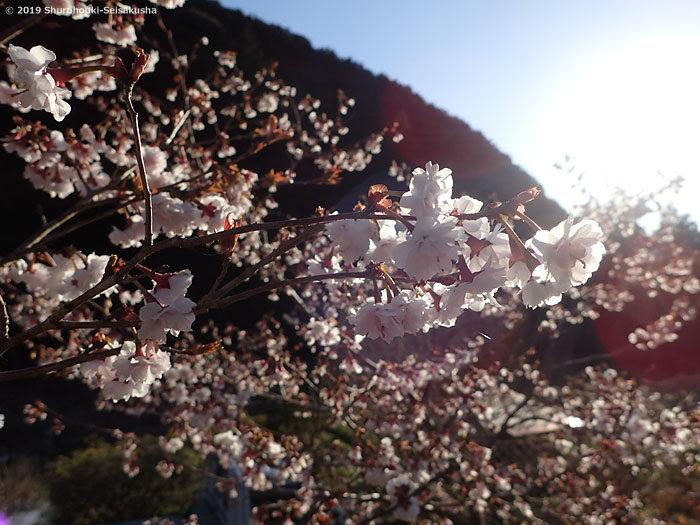 棕櫚箒工房近隣の風景 -彼岸桜