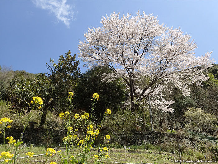 棕櫚箒工房近隣の風景 -ソメイヨシノ